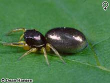 A Jumping Spider photo.