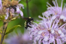 American Bumble Bee photo.