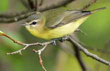 Philadelphia Vireo photo.