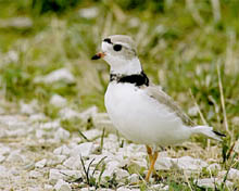 Piping Plover Photo by Jack Bartholmai. Check the photos tab for additional photos.