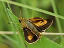 Byssus Skipper photo.