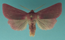 Pink Sallow photo.