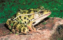 Northern Leopard Frog photo.