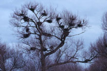 Bird Rookery photo.