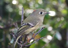 Ruby-crowned Kinglet photo.