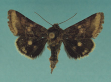 Bina Flower Moth photo.