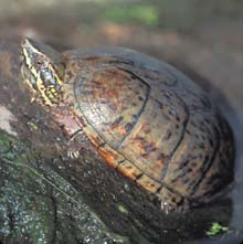 Eastern Musk Turtle photo.