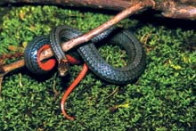 Red-bellied Snake photo.