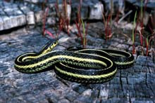 Butler's Gartersnake photo.
