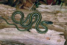 Western Ribbonsnake photo.