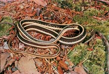 Eastern Ribbonsnake photo.