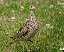 Upland Sandpiper Photo by Ryan Brady. Check the photos tab for additional photos.
