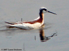 Wilson's Phalarope photo.