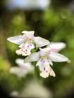 Round-leaved Orchis  Photo.