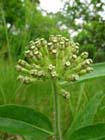 Woolly Milkweed  Photo.