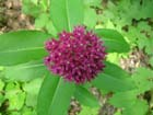 Purple Milkweed  Photo.