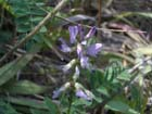 Alpine Milkvetch  Photo.