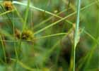 Many-headed Sedge  Photo.