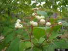 Northern Roughleaf Dogwood  Photo.