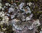 Salted Shell Lichen  Photo.