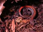 Eastern Red-backed Salamander  Photo