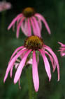 Pale Purple Coneflower  [Photo #12151]