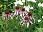 Pale Purple Coneflower  [Photo #23563]