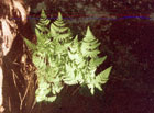 Northern Oak Fern  Photo.