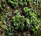 Rock Clubmoss  Photo.