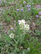 Fassett's Locoweed  Photo.