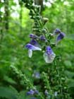 Heart-leaved Skullcap  Photo.