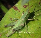 Short-winged Grasshopper