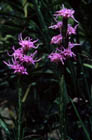 Dotted Blazing Star  Photo.