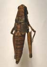 A Spur-throat Grasshopper