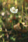 Marsh Grass-of-Parnassus  Photo.