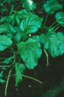Heart-leaved Plantain  Photo.
