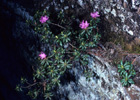 Lapland Azalea  Photo.