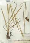 Georgia Bulrush  Photo.