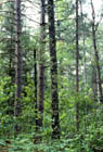 Northern Dry-mesic Forest Photo
