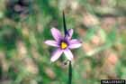 Pointed Blue-eyed-grass  Photo.