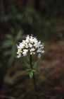 Marsh Valerian  Photo.