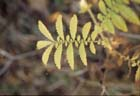 Swamp Agrimony  Photo.