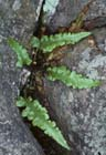 Pinnatifid Spleenwort  Photo.
