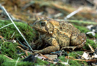 American Toad  [Photo #13251]