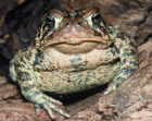 American Toad  [Photo #13538]