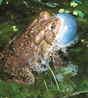American Toad  [Photo #1047]