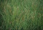 Smooth Black Sedge  Photo.