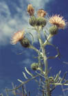 Pitcher's Thistle  Photo.
