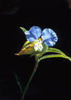 Narrow-leaved Dayflower  Photo.