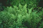 Male Fern Photo.